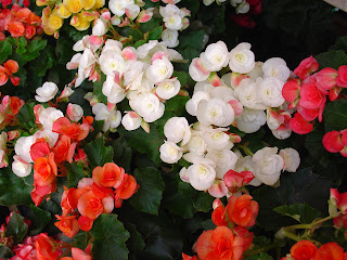 begonias - http://photography-passions.blogspot.com