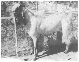 sejrah asal usul rumpun kambing etawa
