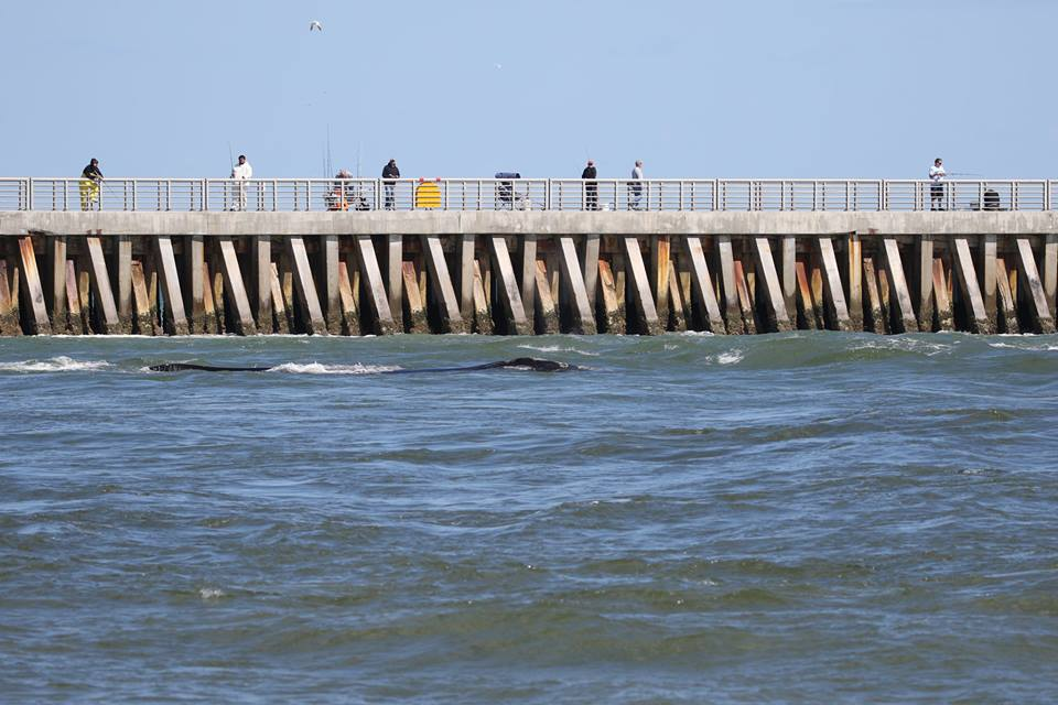 Update endangered right whales leave sebastian inlet for Sebastian inlet fishing pier