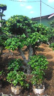 tukang taman menjual tanaman hias, bonsai beringin korea, beringin dollar harga murah
