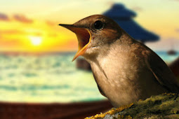 Mengenal Dan Cara Merawatan Burung Sikatan Londo Atau Nightingale