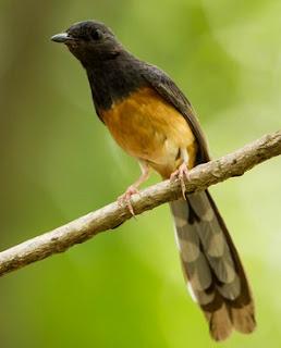 3 Cara Ampuh Mengatasi Burung Murai Batu Susah Mabung Yang Sudah Terbukti