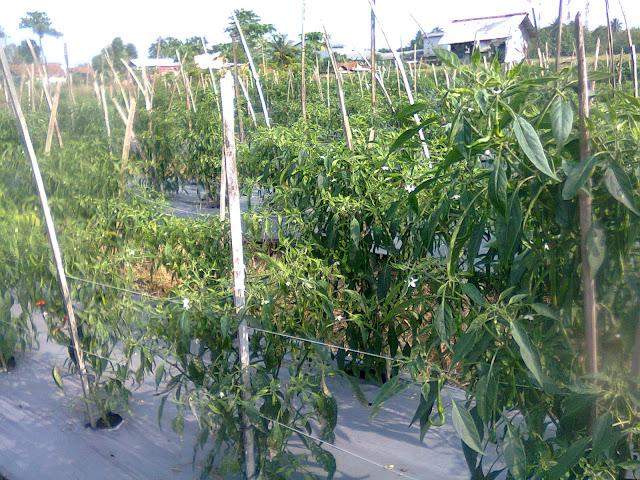 Tanaman Cabe Tumbuh Subur Diberi Penyangga Tiang Ajir dari Bambu