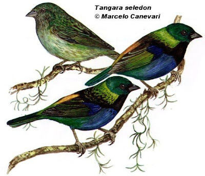 aves de Argentina Saíra arcoiris Tangara seledon