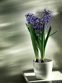 hiacynt niebieski zdjęcie