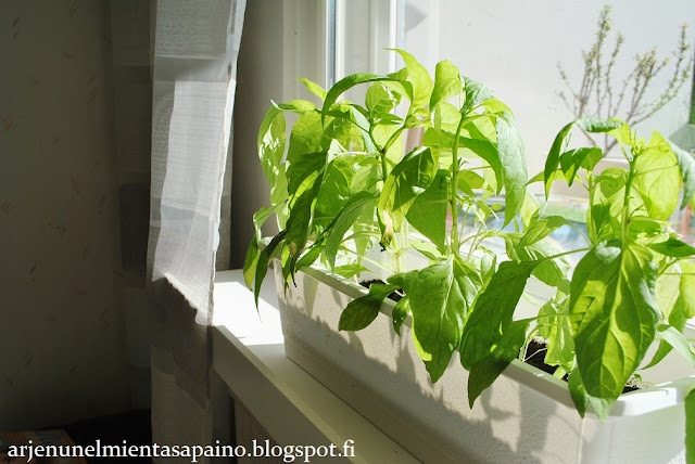 istutus, chili, paprika, kasvatus, puutarha, parveke