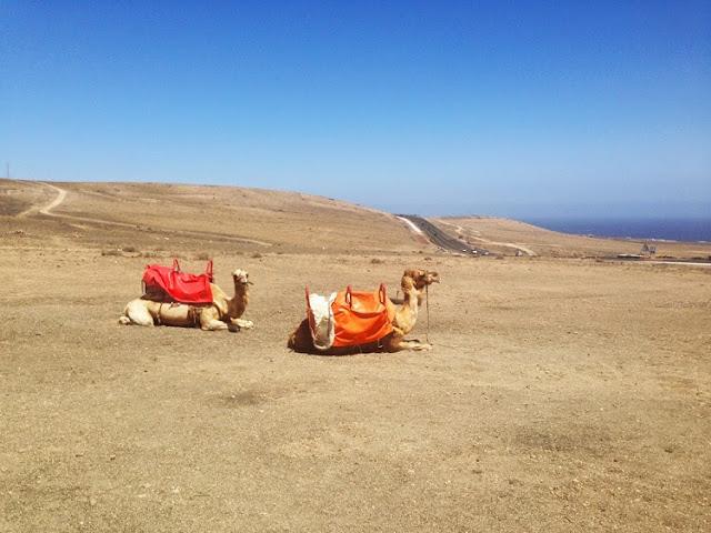 Lanzarote Touristen Kamelreiten Dromedar was tun in Lanzarote Kanarische Inseln erkunden reiten