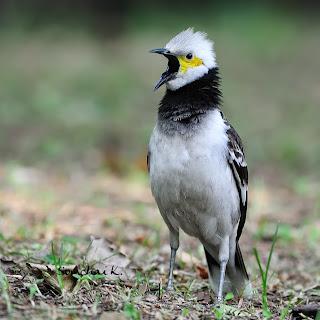 Suara burung jalak hongkong gacor mp3