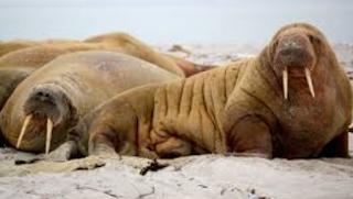 mamalia singa laut