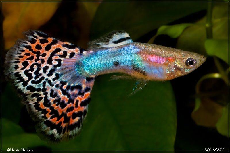 Gambar Ikan Guppy Fantail-Fantail Guppy Male