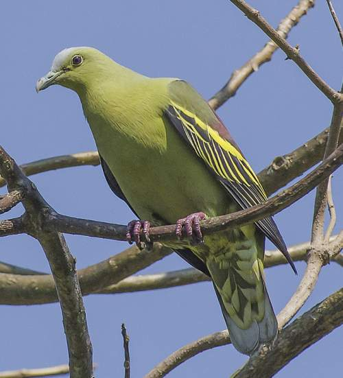 Indian birds - Picture of Andaman green pigeon - Treron chloropterus