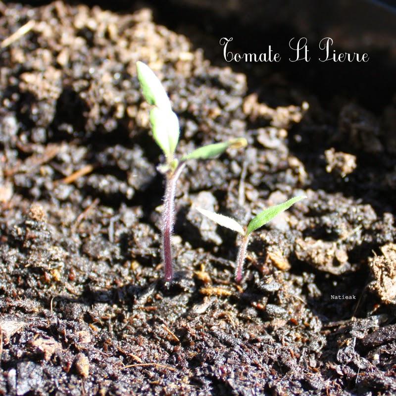 tomates St-Pierre
