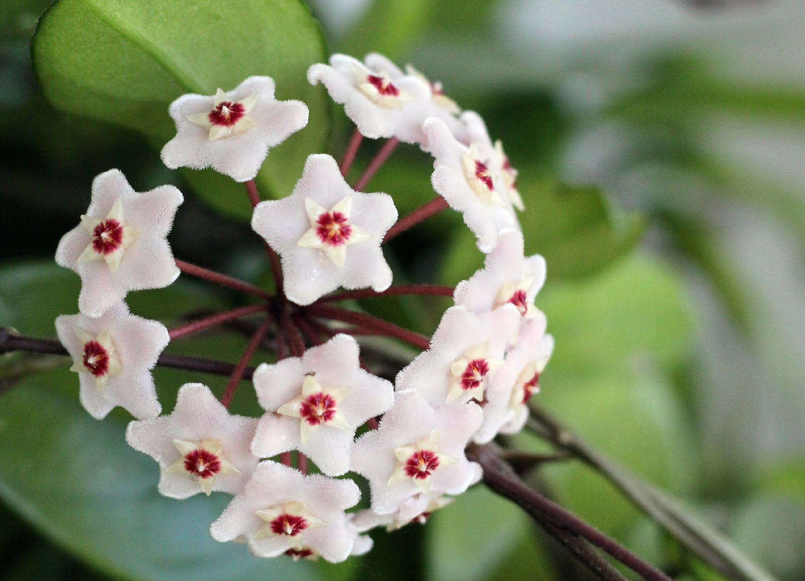 Blooming Hoya Grateful Prayer Thankful Heart