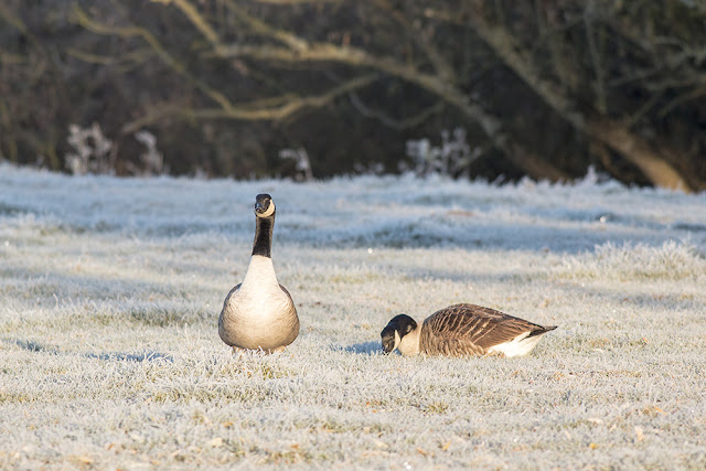 Pairing up Canada Geese?