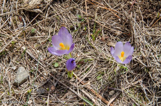 Flora - Pelister National Park, Macedonia