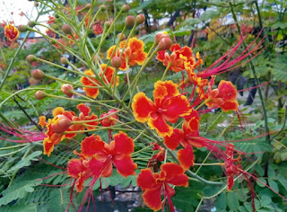Mexican Bird of Paradise Tree