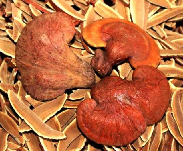 Nấm linh chi rừng cần phải được làm khô sau khi khai thác