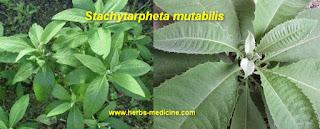 Hemorrhoids use Stachytarpheta mutabilis