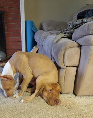 Un triste perro con un trasero sentado en su cabeza.