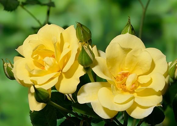 Sky's The Limit rose сорт розы фото