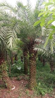 Jual pohon palm kenari taiwan harga murah