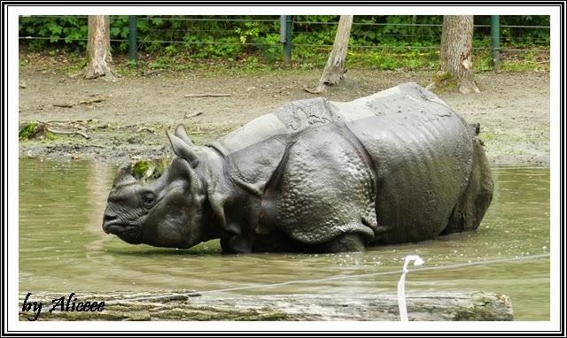 zoo-Nyiregyhaza-rinocer