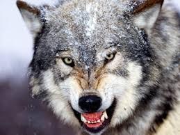 ¡Que viene el lobo! - artículo de Juan Manuel Olarieta Alberdi - año 2017 Lobo