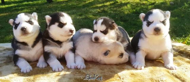Camada de Cachorros Siberian Husky Sirokami