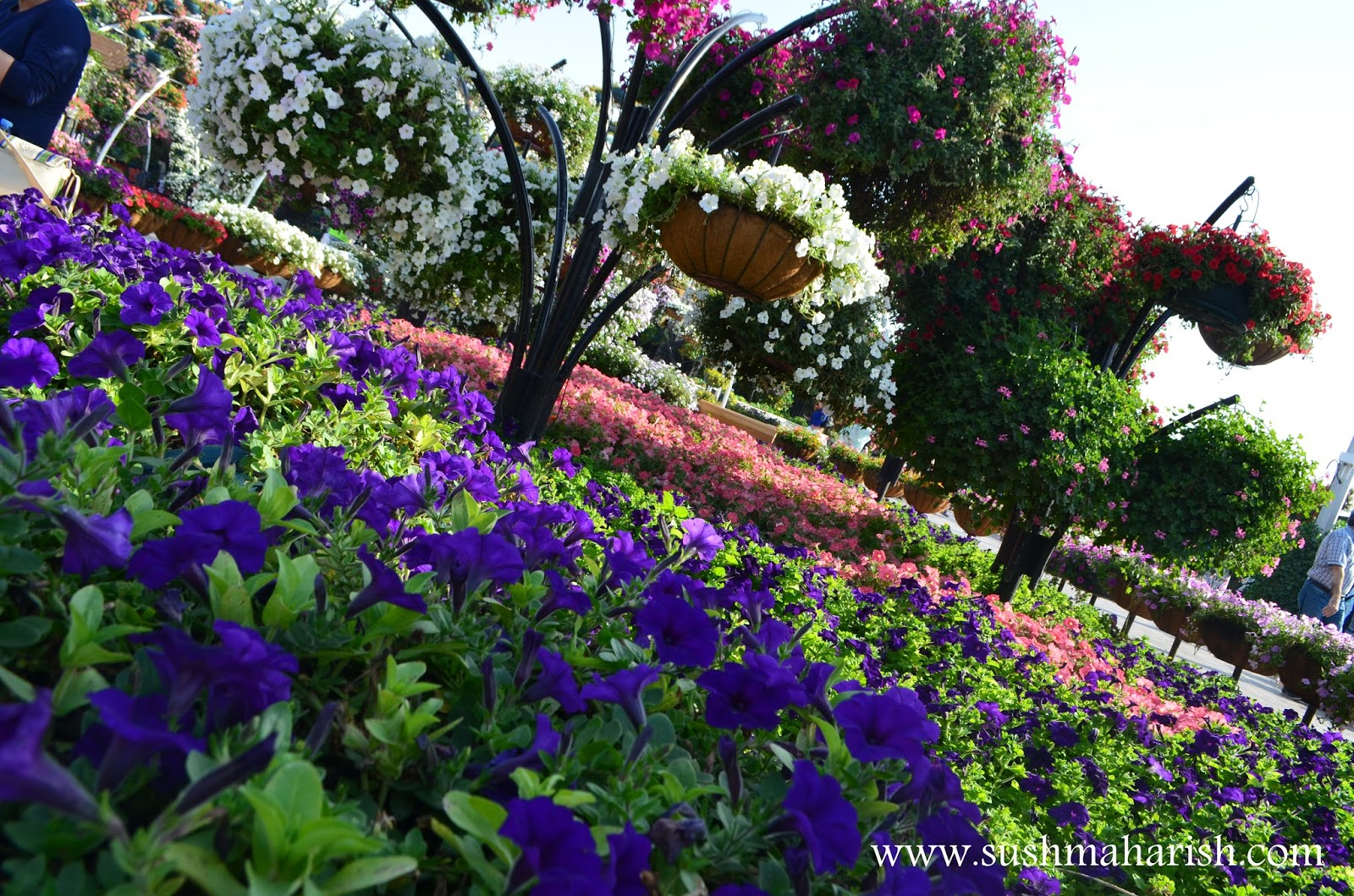 Exploring Beyond The Skyscrapers. Largest Flower Garden Of The World - Miracle Garden Dubai. 33