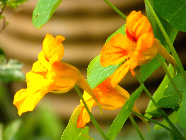yellow nasturtiums against rope taraccota pot in background