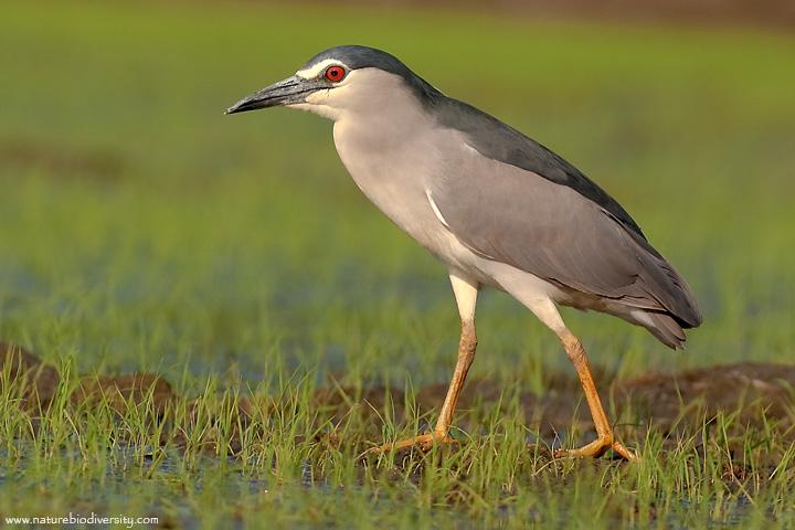 Laghetto di basiglio uccelli del parco sud milano for Animali da laghetto