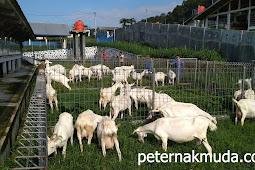 Bukan hanya barang, memelihara ternak juga berkewajiban mengeluarkan zakat peternakan