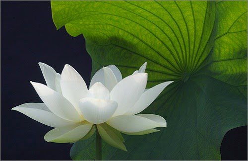 lotus flowers wallpapers beautiful flowers wallpapers