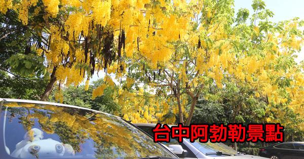 台中賞阿勃勒景點|黃金雨|泰國國花|金光閃閃的行道樹|持續更新