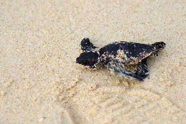 baby sea turtle struggles to leave beach