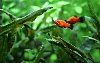 Algae Eater untuk Aquascape Ikan Platy