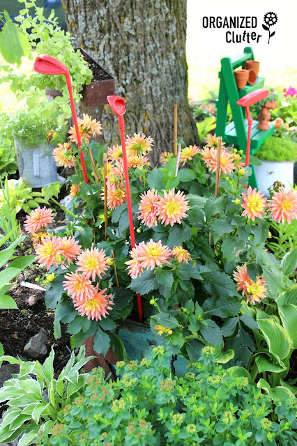 Underused Annuals - Dahlia organizedclutter.net
