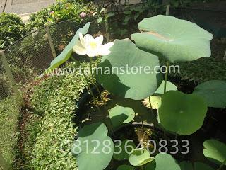 bunga lotus putih