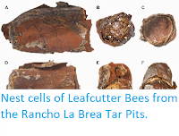 http://sciencythoughts.blogspot.co.uk/2014/07/nest-cells-of-leafcutter-bees-from.html