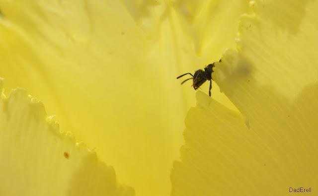 Une petite abeille dans une tulipe