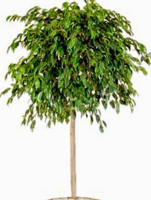 Weeping Fig - Ficus benjamina