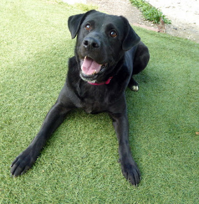 Black lab rescue washington dc