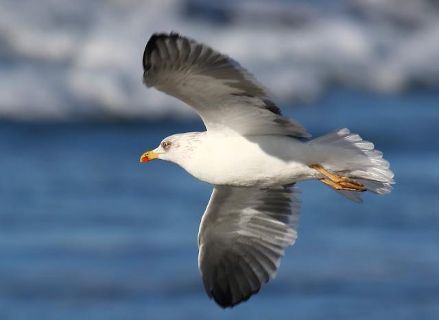 Lesser Black-backed Gull. Coronado, California.