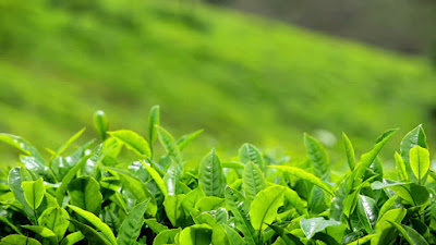 Asian Tea Alliance Launched in Guizhou, China