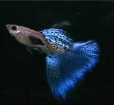 Jenis Ikan Guppy Termahal Guppy Blue Grass