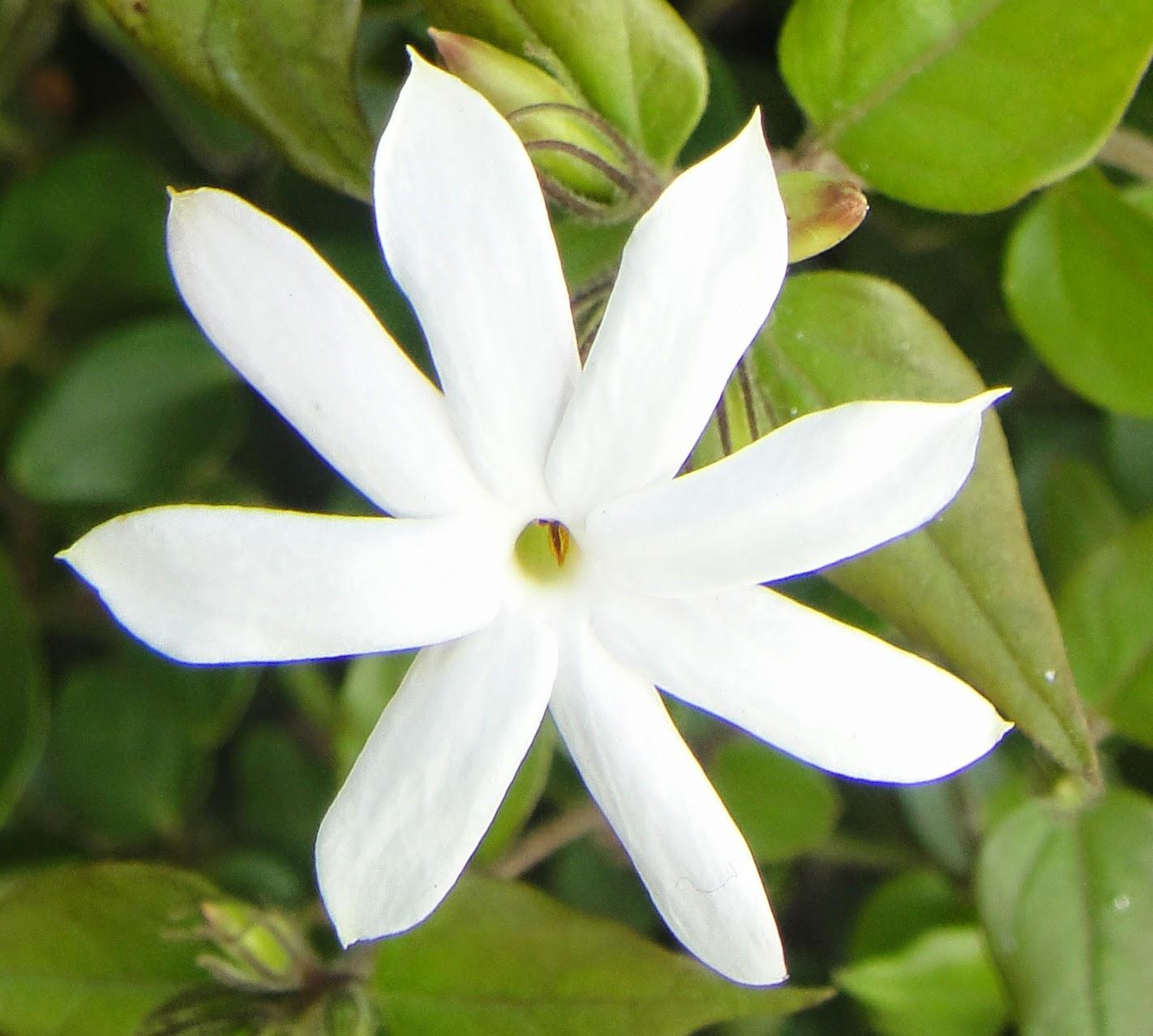 DWAN雲之端: 毛茉莉---開滿星星狀潔白小花的盆景,生長於海拔1,一般生於灌叢,株高 2~5 公尺,星星茉莉,兩面無毛或下面脈腋間具黃色簇毛;頂生小葉片通常明顯大於側生小葉片,披針形或卵形, 且新枝的莖上 ...