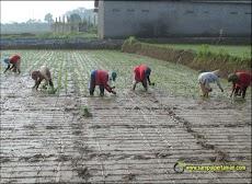 Menanam padi dengan teknik Tanju (Tanam maju)