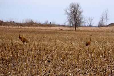 sandhill cranes in corn stubble