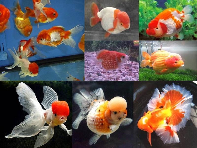 Budidaya Ikan Hias Koki