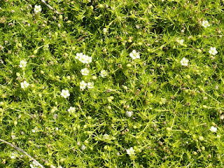Minuartie printanière - Minuartia verna - Minuartie de printemps - Sabline de printemps - Minuartia du printemps
